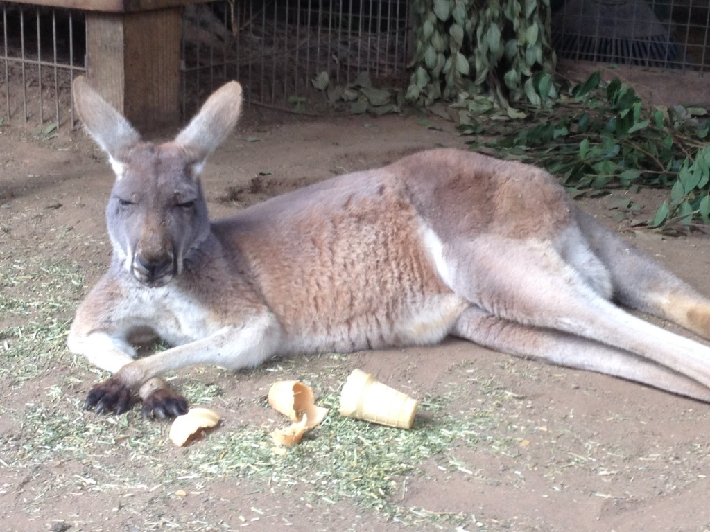 CAPAStudyAbroad_Sydney_Kiaya Heise - Kangaroo