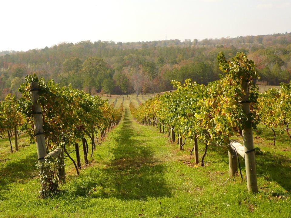 CAPAStudyAbroad_Audra Jones_Florence_Parents Interview - Enoch's Stomp Winery Vines.jpg