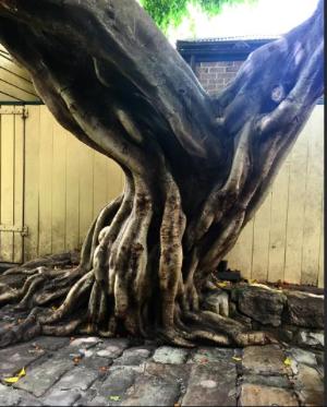 CAPAStudyAbroad_Sydney_Spring2016_From_Kisha_Patel_-_100_post_-_11_tree.png