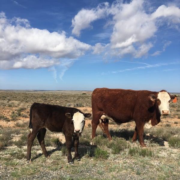 Cows in Arizona_JG