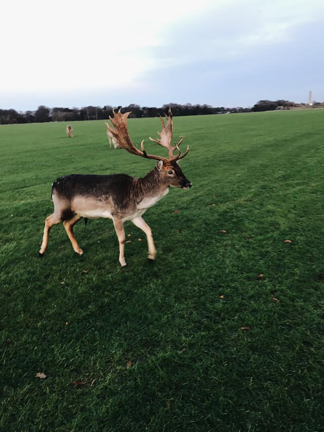 CAPAStudyAbroad_Fall2017_Dublin_From Elizabeth Leahy - Magical Deer in Phoenix Park.jpg
