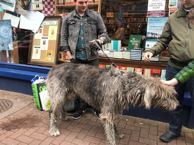 Irish Wolfhound in Galway
