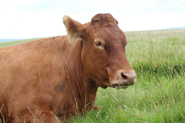 Moher Cow 2