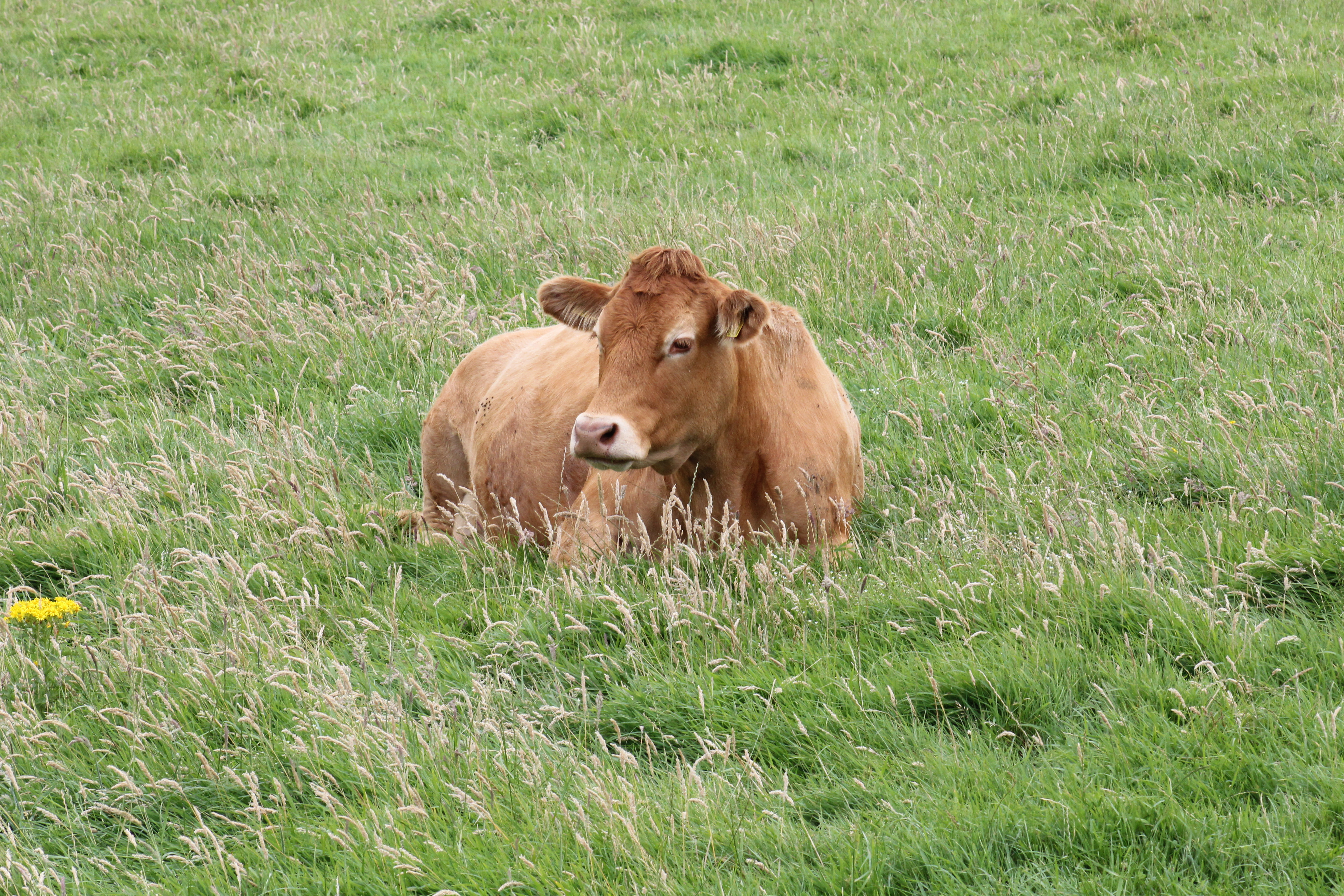 Moher Cow