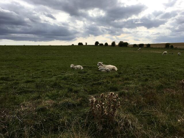 Sheep Guarding the Stonehenge