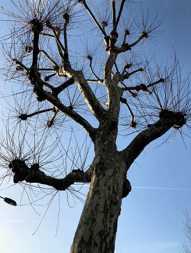 CAPAStudyAbroad_London_Spring2018_From Kelly Allen - A Tree on the Walk in Westminister