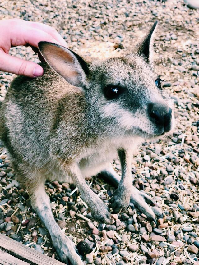 CAPAStudyAbroad_Sydney_Spring2018_From Lilly Reding - petting wallaby