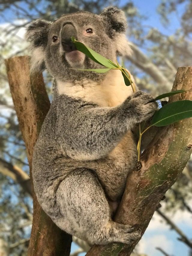 CAPAStudyAbroad_Sydney_Fall2017_From Hanna Okhrimchuk - Koala at Featherdale Wildlife Park.jpg