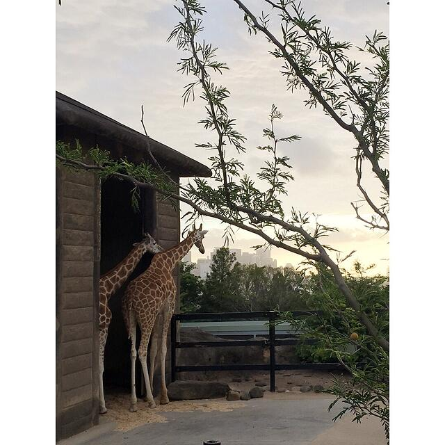 CAPAStudyAbroad_Sydney_Fall2017_From Hanna Okhrimchuk - Roar & Snore at Taronga Zoo_Giraffes.jpg