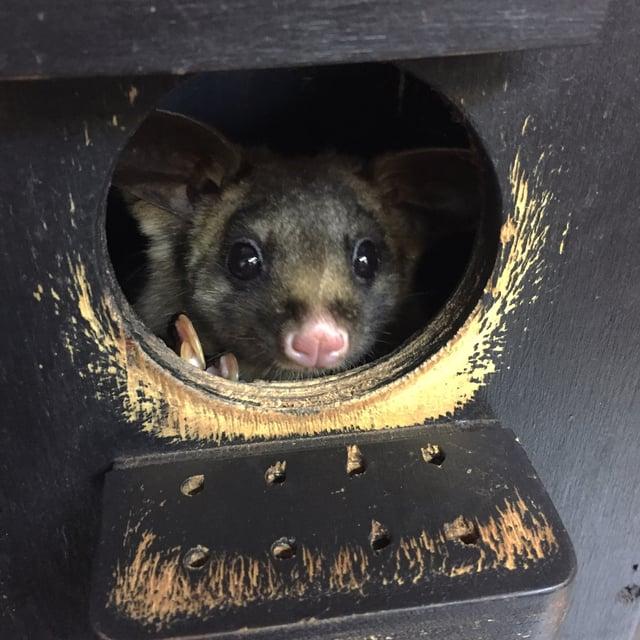 CAPAStudyAbroad_Sydney_Fall2017_From Hanna Okhrimchuk - Roar & Snore at Taronga Zoo_Sugar Glider.jpg
