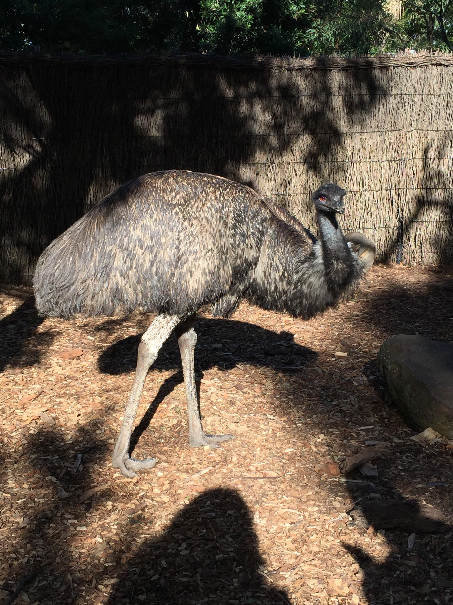 Emu at Taronga Zoo