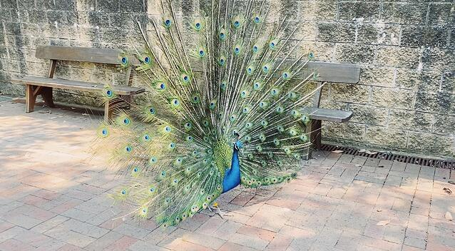 CAPAStudyAbroad_Fall 2019_Sydney_Minh Ta_A Peacock Opens its Tail