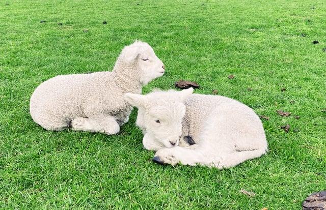 CAPAStudyAbroad_Fall 2019_Sydney_Minh Ta_Cute Baby Sheeps Lying on the Field - Copy