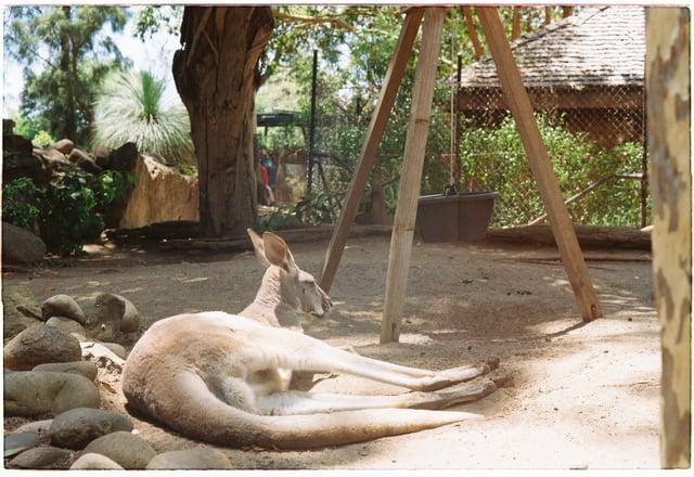 Having fun with Kangaroos