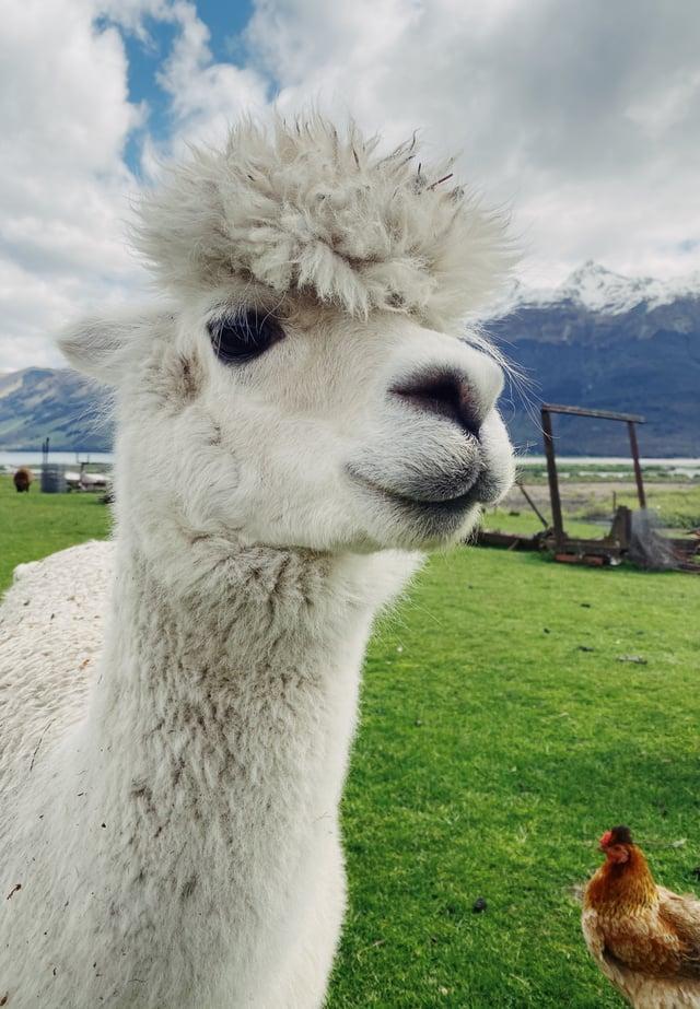CAPAStudyAbroad_Fall 2019_Sydney_Minh Ta_My New Bud Alpaca