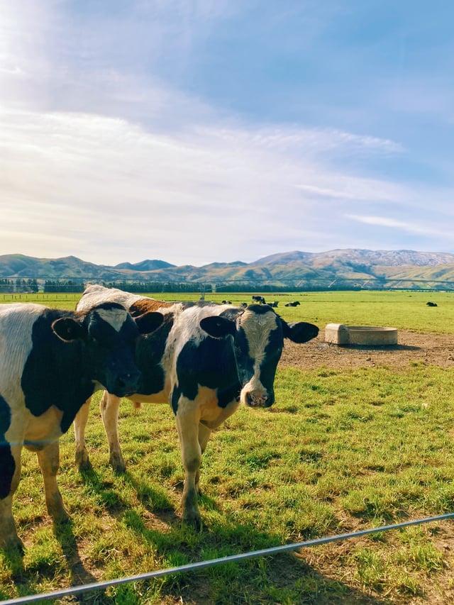 CAPAStudyAbroad_Fall 2019_Sydney_Minh Ta_New Zealand Cow Farm