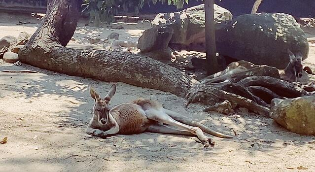 CAPAStudyAbroad_Fall 2019_Sydney_Minh Ta_Roo Chilling Under the Sun
