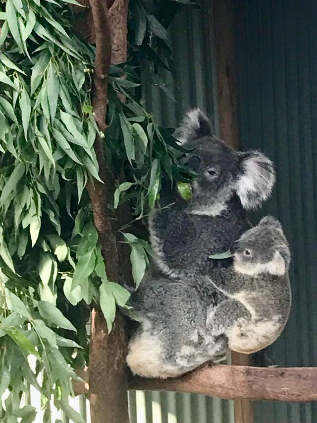 A baby koala and its mama have a snack