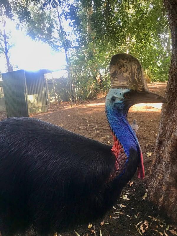 A curious cassowary