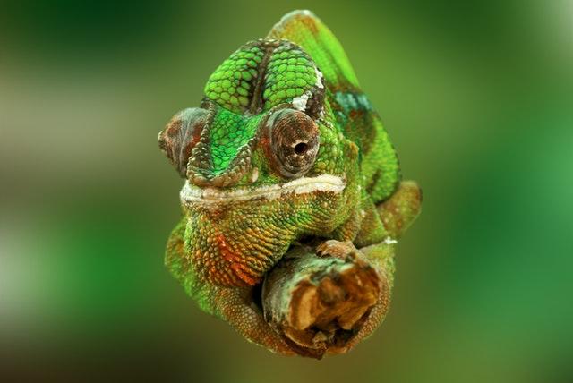 chameleon-reptile-lizard-green-45868.jpeg
