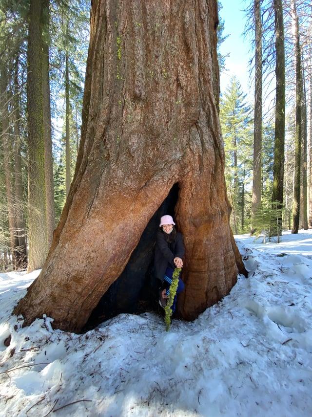 Hiking in Yosemite's Tuolumne Grove of Giant sequoias.